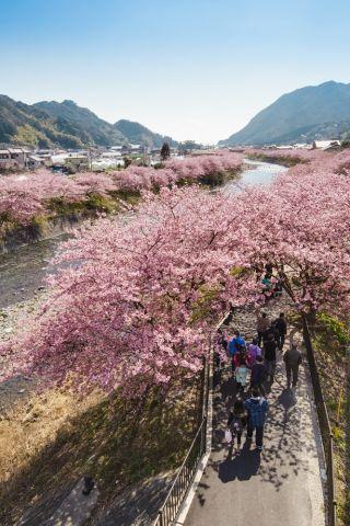 河津桜(イメージ) 写真提供:静岡県観光協会