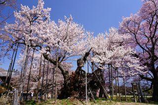 神代桜(イメージ) 写真提供:北杜市観光協会